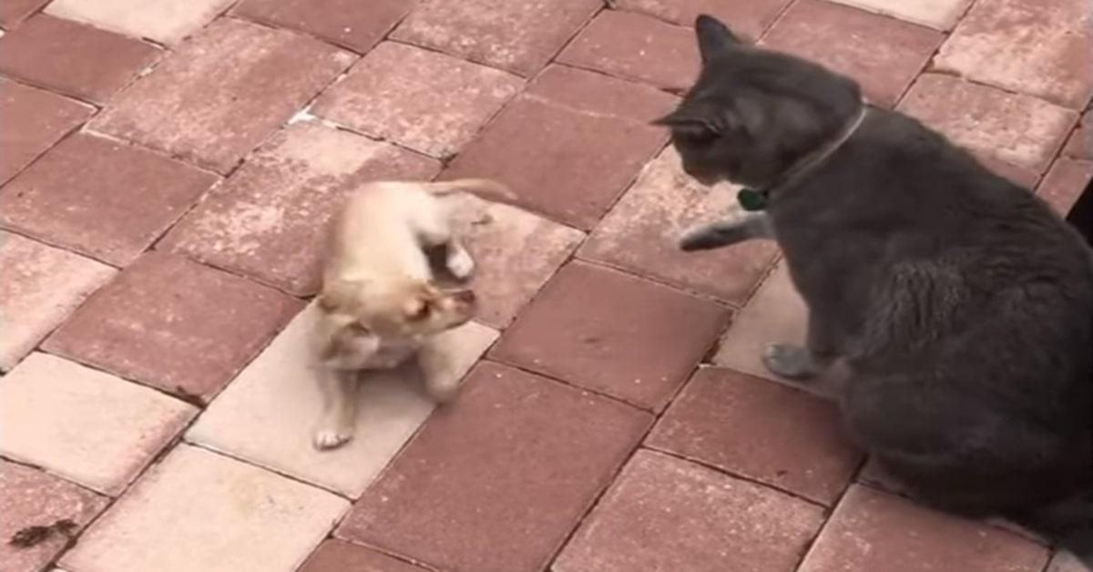 gatto e chihuahua amici inseparabili