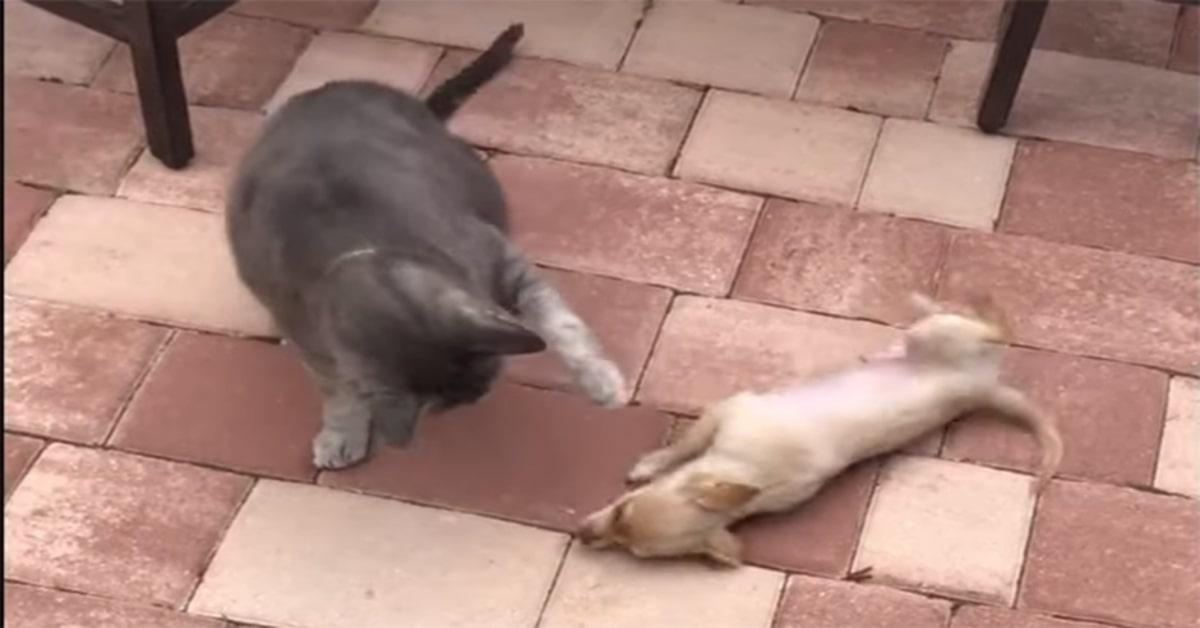 gatto e chihuahua ottimi amici