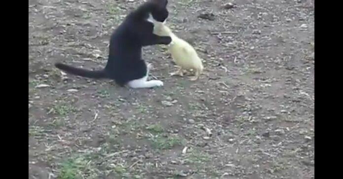 gatto abbraccia papera
