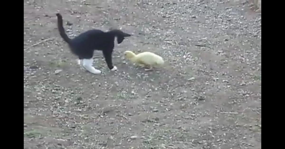gatto gioca con papera
