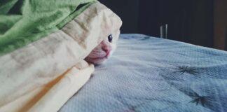 gatto coperto