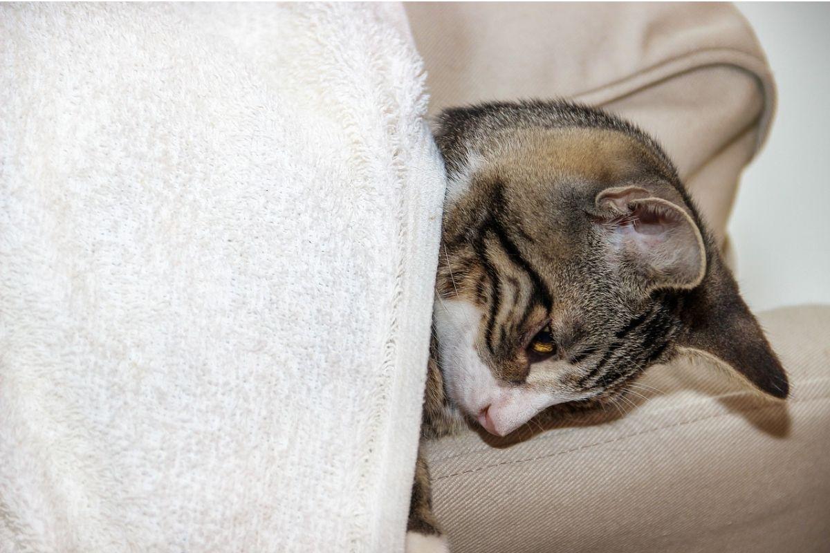 gatto malato con una coperta