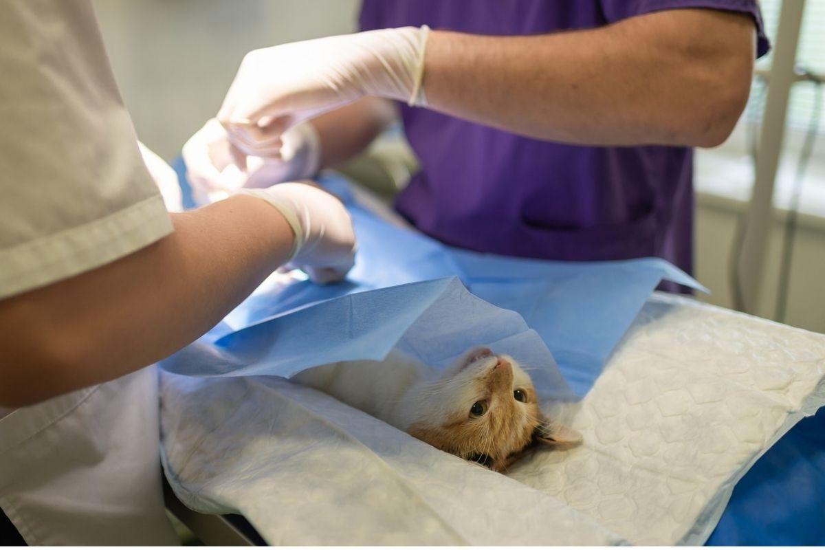 gatto dal veterinario, operazione