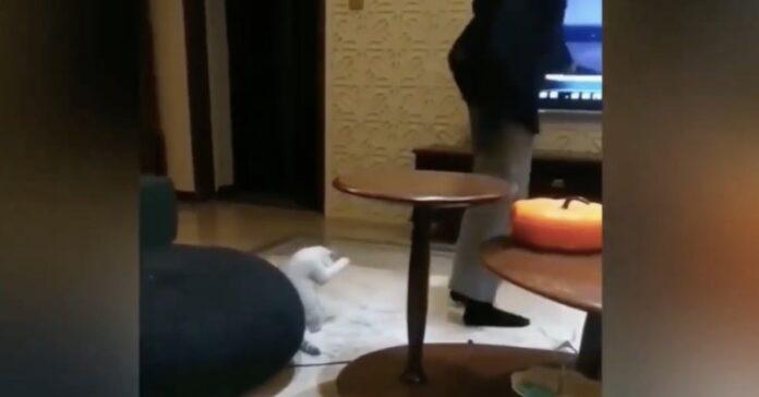 gattino bianco imita la padrona che fa ginnastica