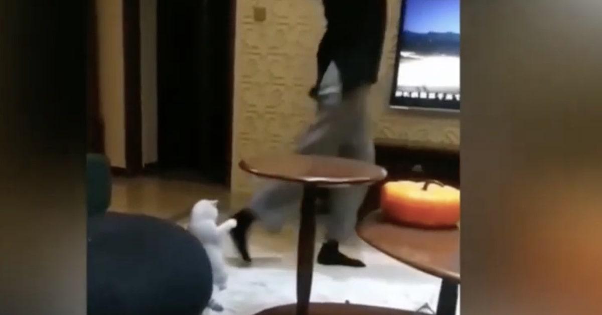 gattino bianco fa gli esercizi come la padrona
