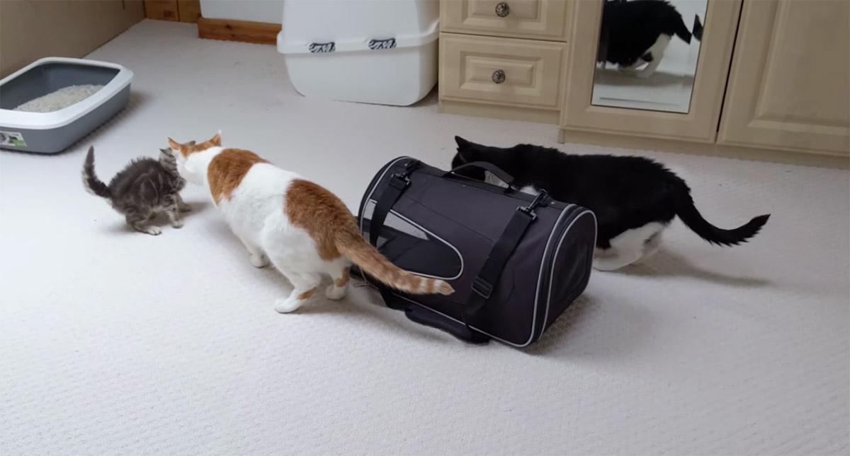 incontro tra gatti