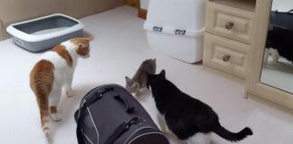 gatto e gattini