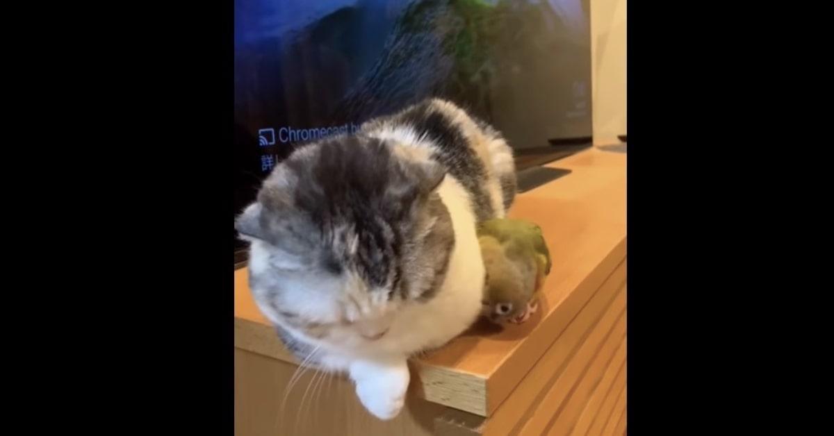 gatto vuole dormire ma pappagallo gli da fastidio