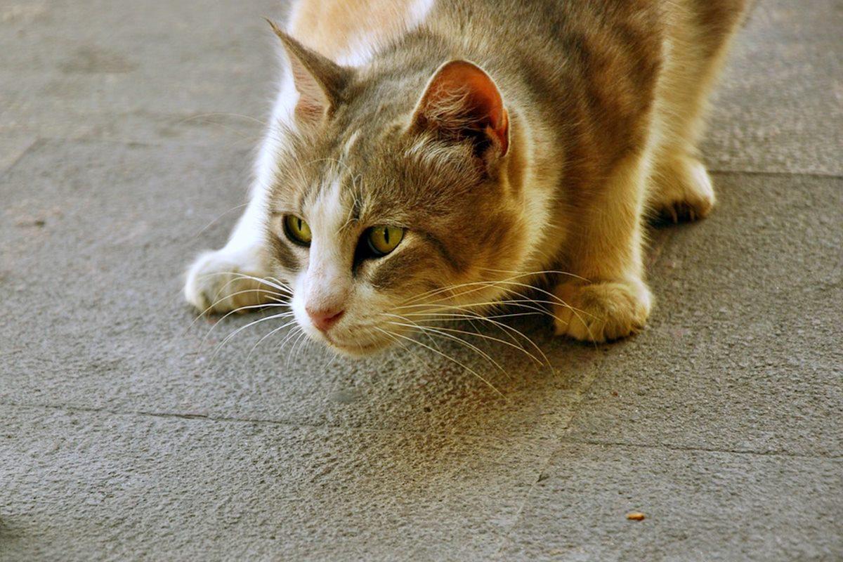 gatto che si appiattisce a terra