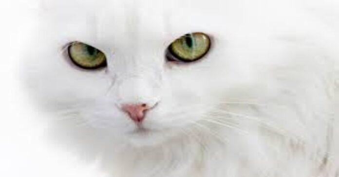 gatto bianco occhi verdi