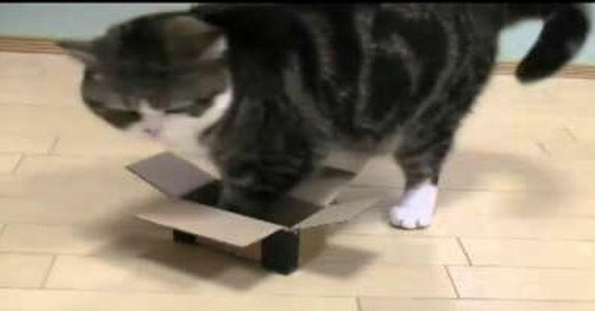 gatto troppo grasso scatola piccola