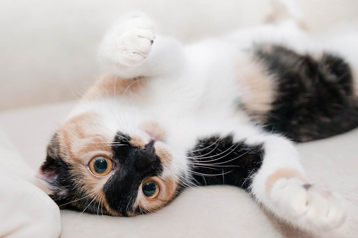 gatto disteso sulla schiena