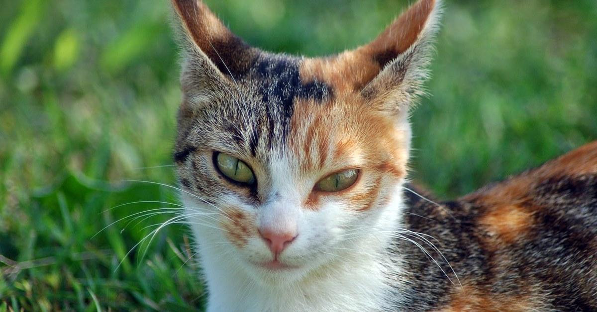 gatto con le orecchie dritte