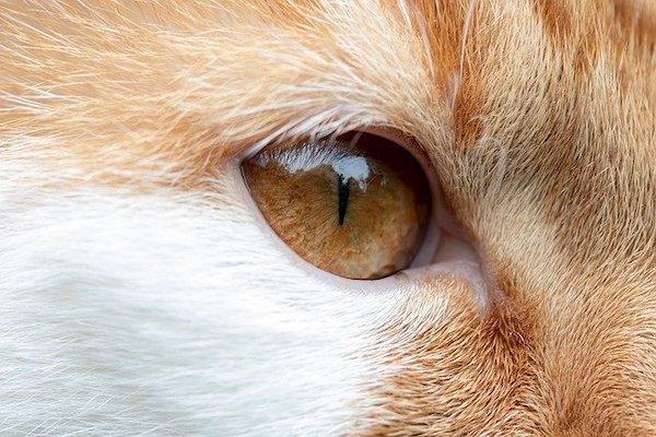 gatto occhio secco