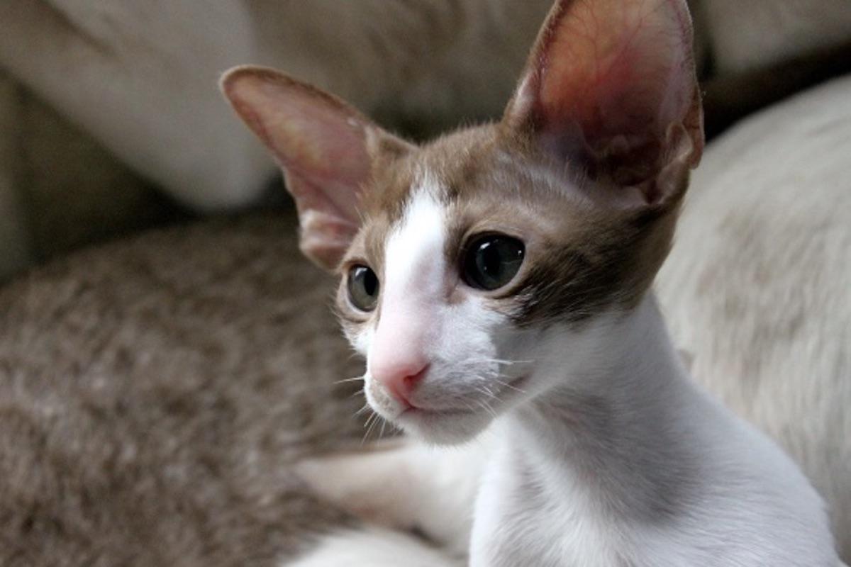 gatto orecchie lunghe