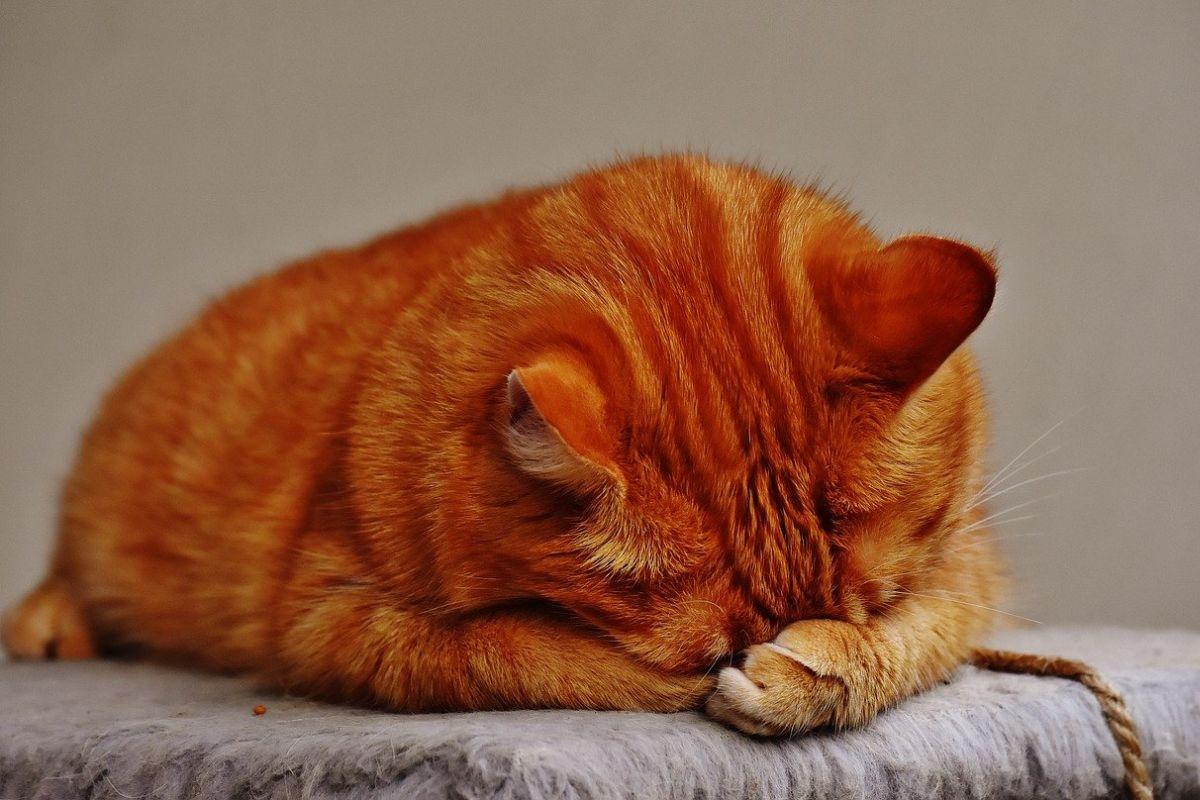 gatto arancione con le zampe sul muso