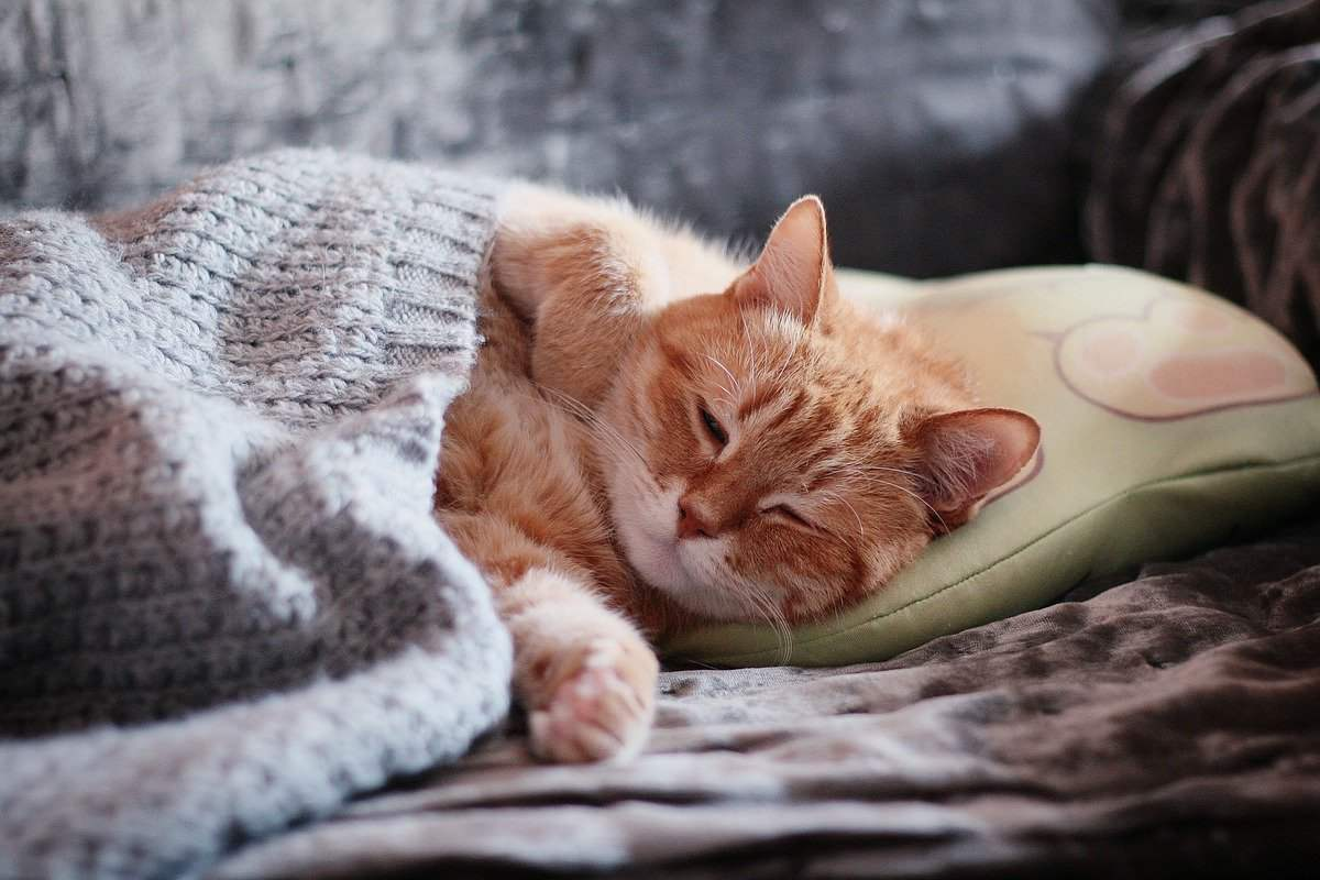 gatto che dorme sotto la coperta