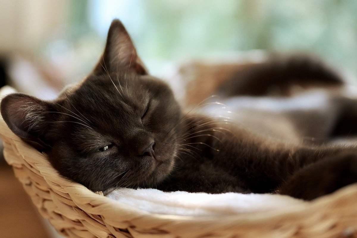 gatto nero che dorme in una cesta