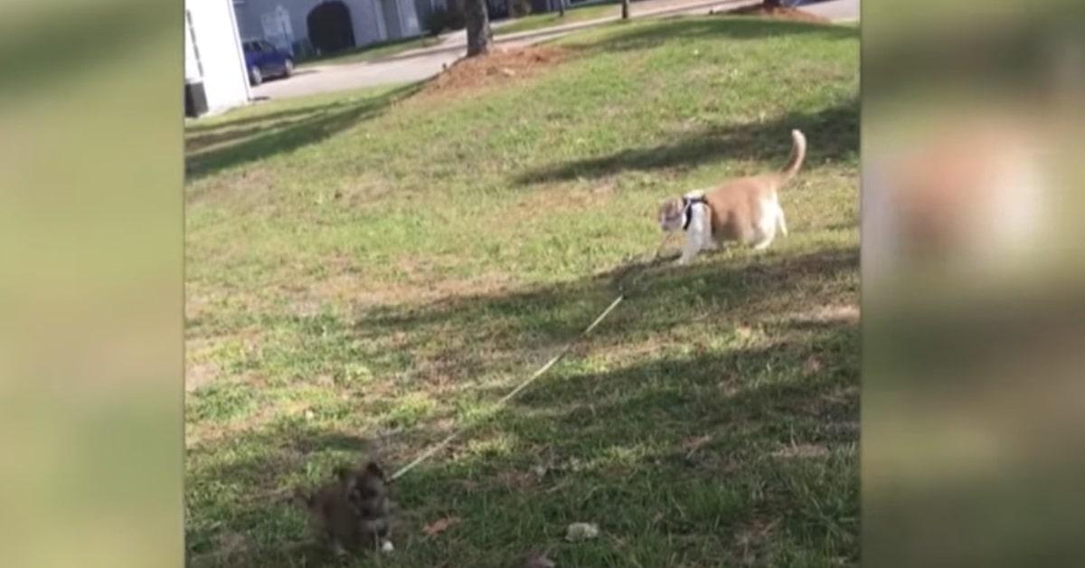 gatto impara al cane ad andare al guinzaglio