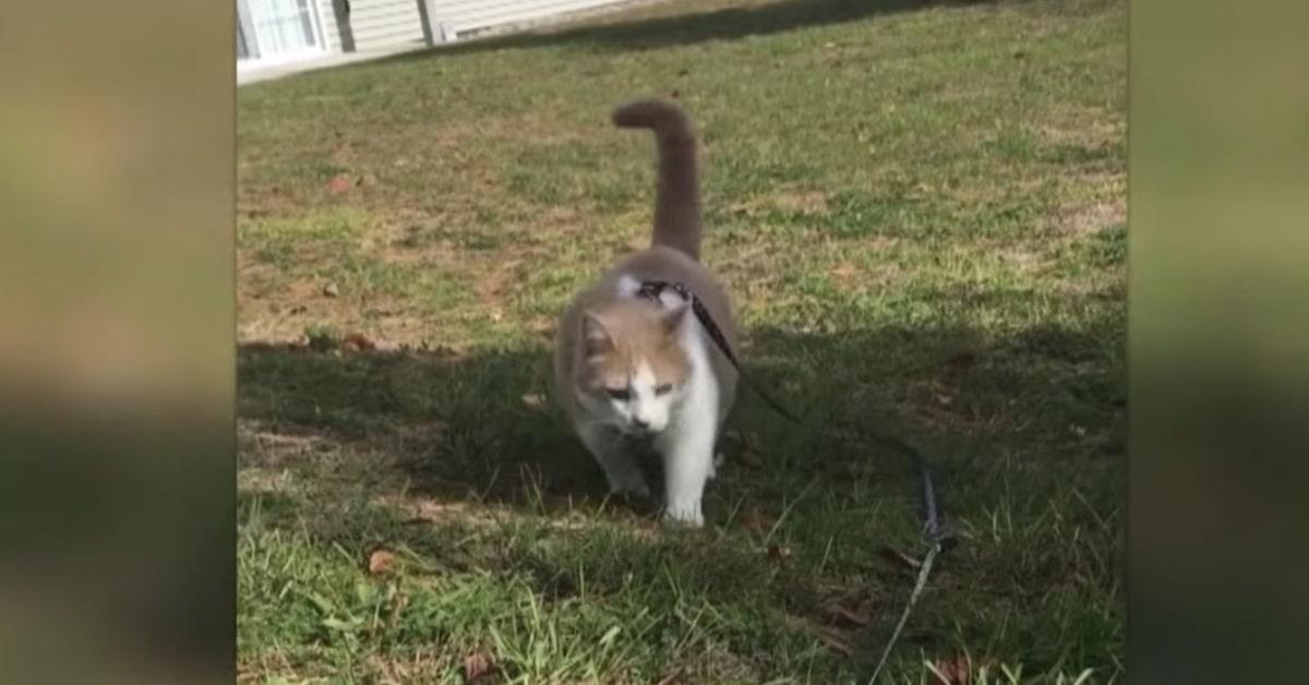 gatto con guinzaglio