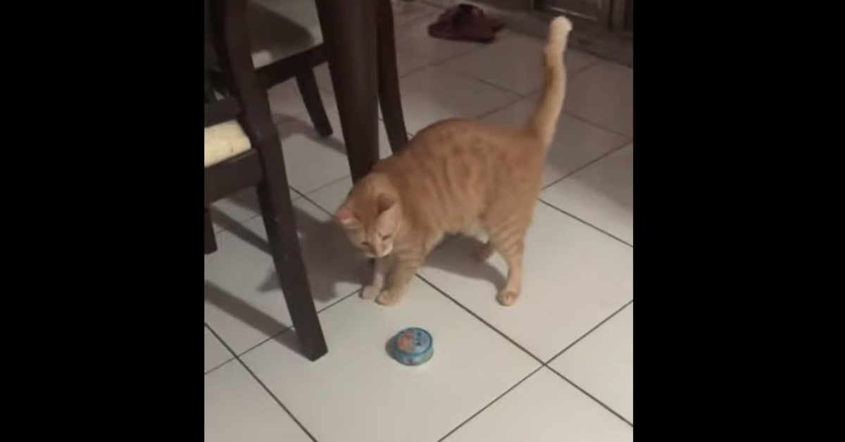 gatto porta una scatoletta di tonno alla padrona