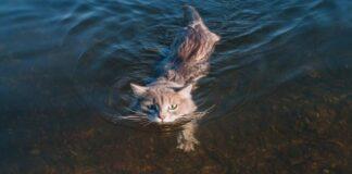 gatto che nuota
