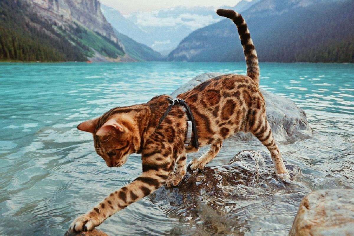 gatto del bengala al lago