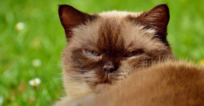 gatto imbronciato
