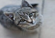 gatto grigio guarda in alto