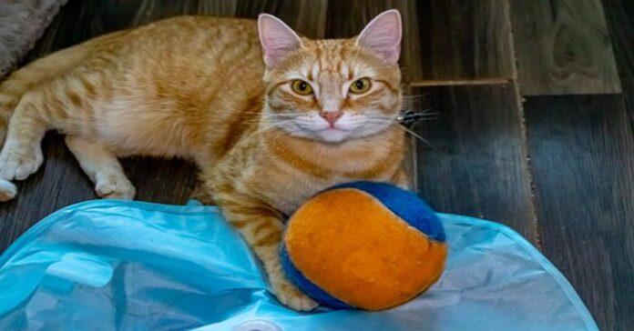 gatto rosso con pallina arancione