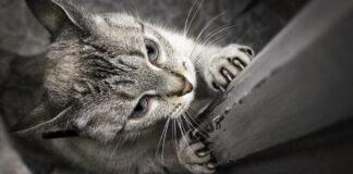 gatto che graffia la porta