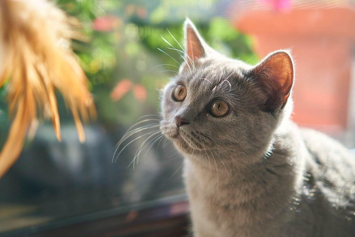 gatto grigio con gli occhi gialli