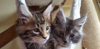i due gattini maine coon accorrono quando ascoltano quel rumore video