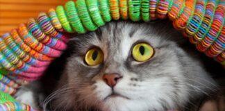 curioso gattino moggy vuole entrare borsone proprietario video