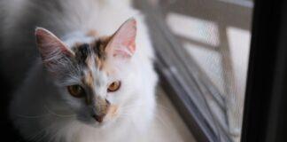 gattino celtico viene trovato sulla zanzariera video