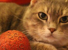 gattino europeo rimane decorazioni natalizie video