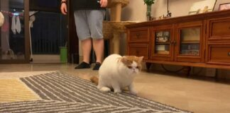 gattino incontra labrador