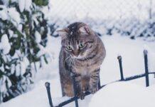 gatto fiocchi neve