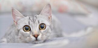 gattino mau egiziano comparire in scena video