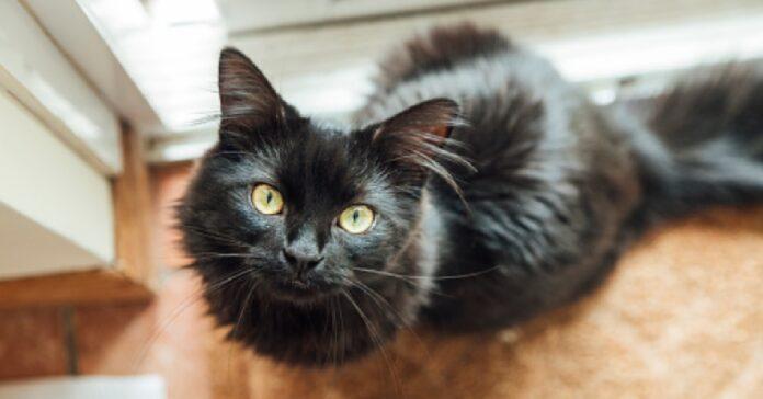 gattino moggy vuole prendere del cibo dalla dispensa nel video suo piano diabolico