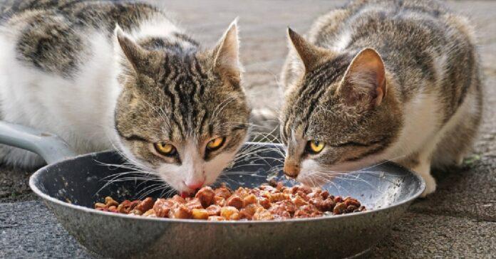 il gattino rosso non vuole condividere pasto con fratellino video