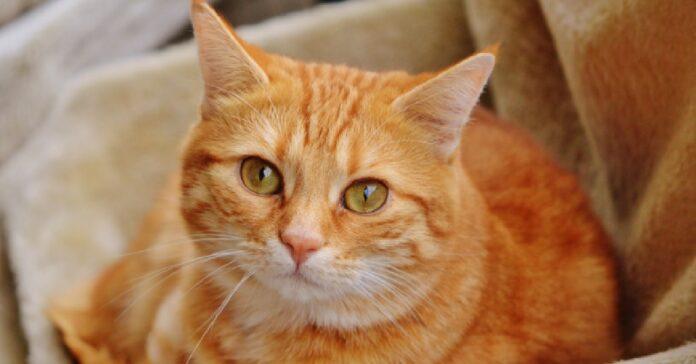 gattino rosso osserva fratelli giocare con pupazzo video