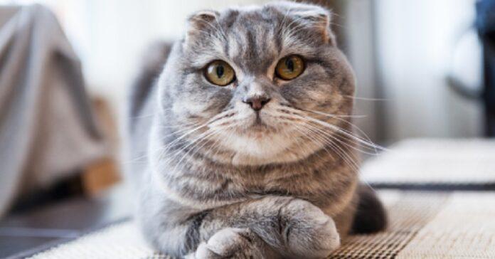 gattino scottish fold si gode il suo momento di relax TV video