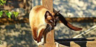 gattino siamese pronto attacco obbiettivi sono due piccioni video