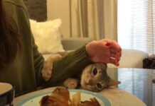 micio rubare croissant