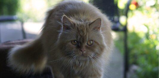 il gattino tabby adora spaventare fratellino video