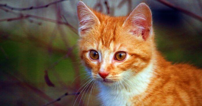 gattino tabby conosce nuovo fratellino video incontro