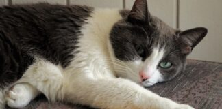 gattino tuxedo aggrappa proprietario piccolo amore video