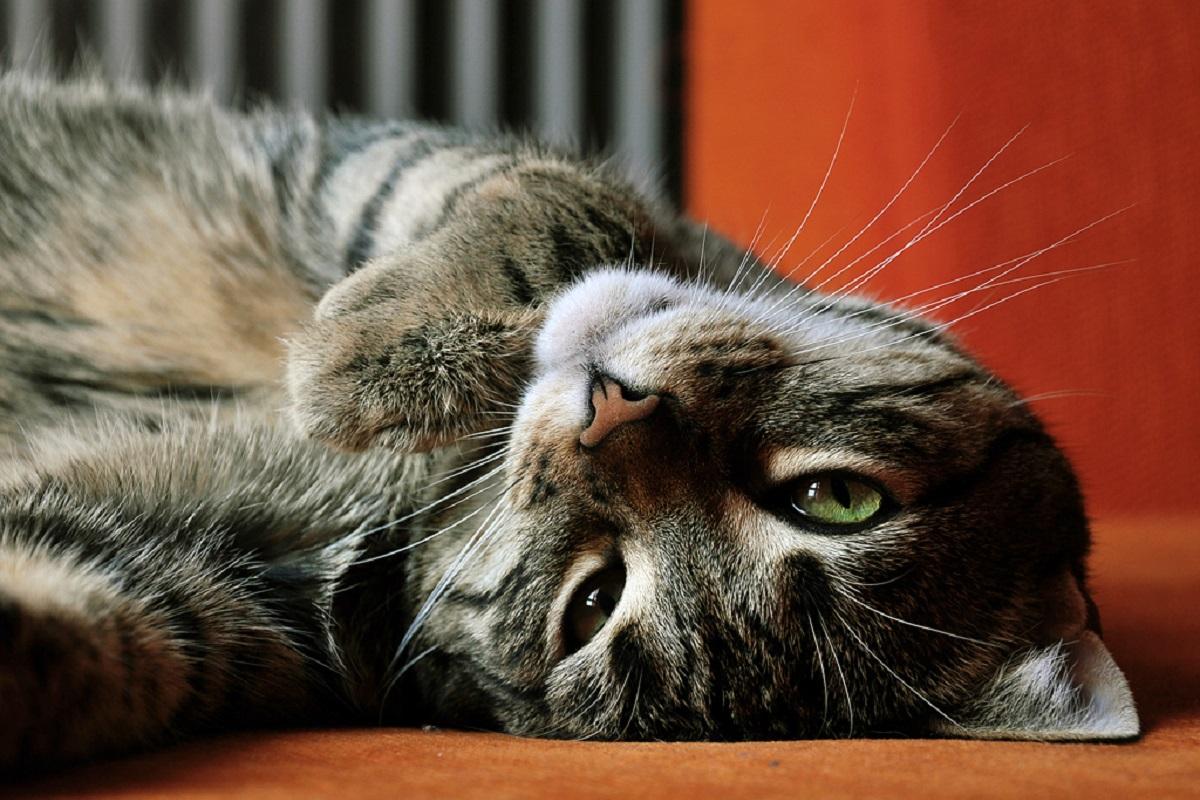 gatto disteso supino