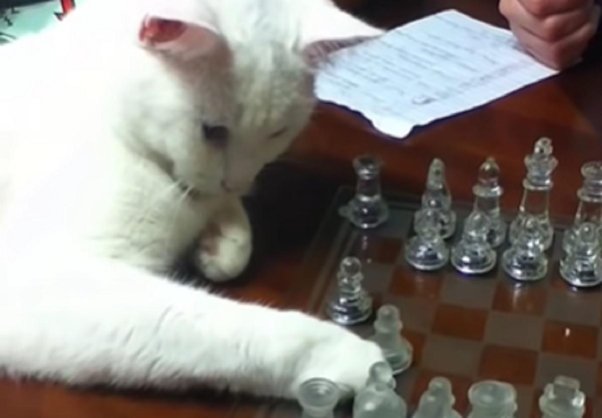 gatta astuta giocare